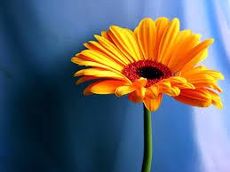 gold flower blue backgrnd