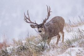 Mule Deer, Black-tailed Deer, Odocoileus hemionus