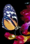butterfly brilliant close up insect animal nature small