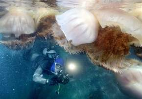 Videos, The jellyfish are coming! Researchers puzzle over exploding population